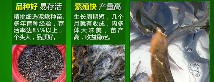旭农十号泥鳅养殖